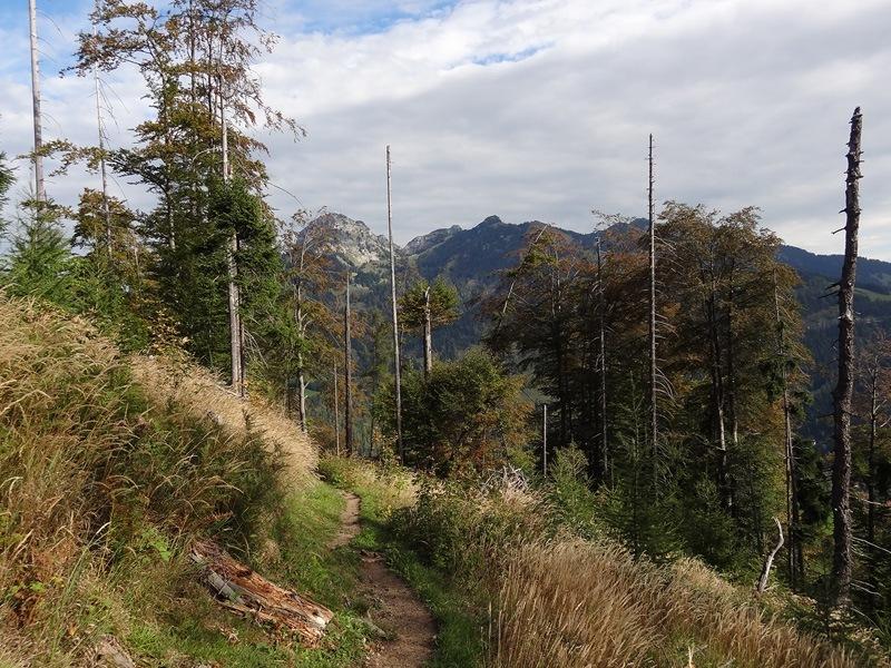 Seebergkopf und Seebergschneid: Bayrischzeller Höhenweg: Unterwegs auf dem Bayrischzeller Höhenweg zur Neuhüttenalm. Zwischen den Bäumen ist die Wendelsteingruppe zu erkennen.