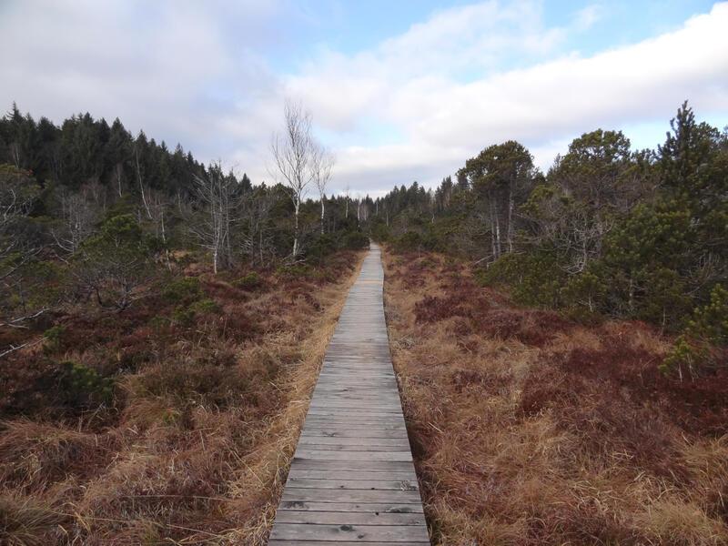 Murnauer Moos: Langer Filz: Ein Bohlenweg führt durch das Hochmoor Langer Filz. Auf dem feuchten Torfboden wachsen vor allem Moorspirken und Birken.
