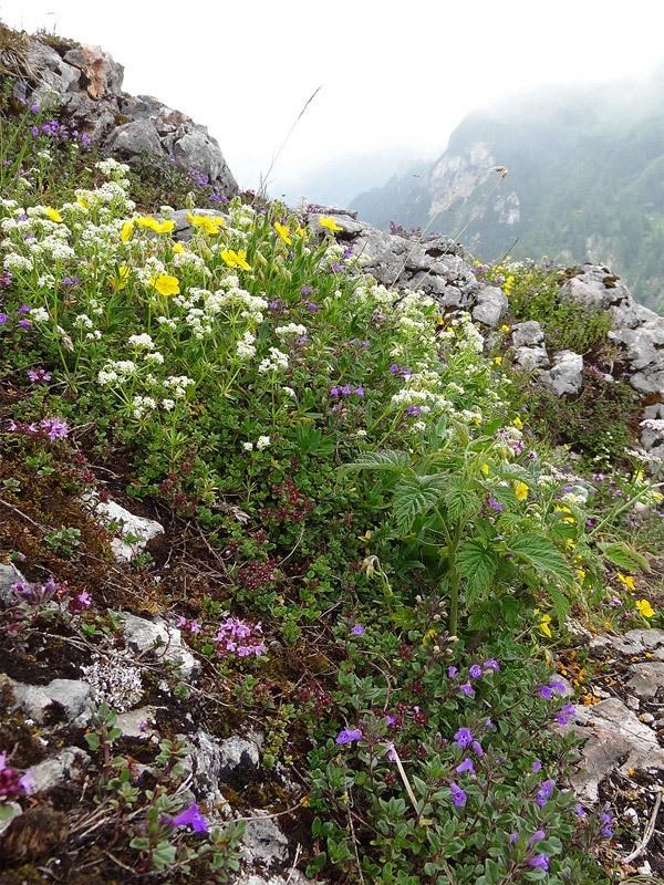 Hochlerch und Zwölferspitz: Magerrasen: Blumenreicher Magerrasen am Zwölferspitz mit Alpen-Labkraut (weiß), Alpen-Steinquendel (blau) und Sonnenröschen (gelb).